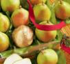 One Dozen Royal Riviera Pears